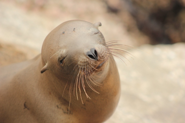 sea-lion-monterey