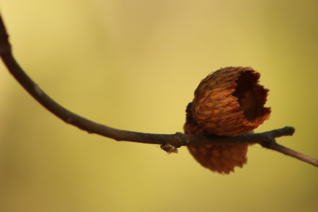 acorn-shell