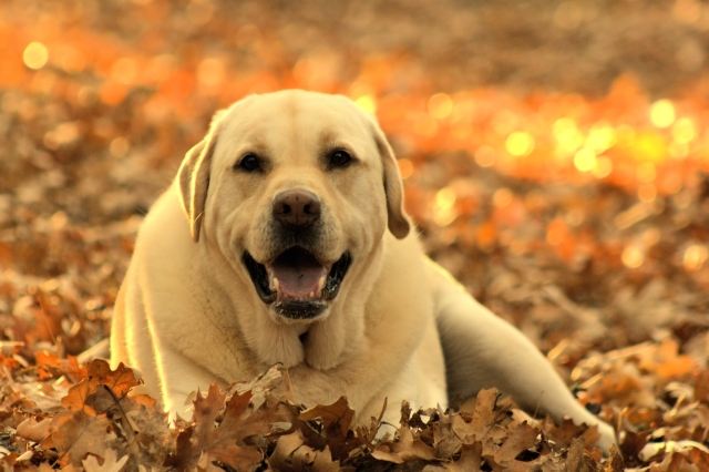 Labrador-retriever-dog-yellow-lab