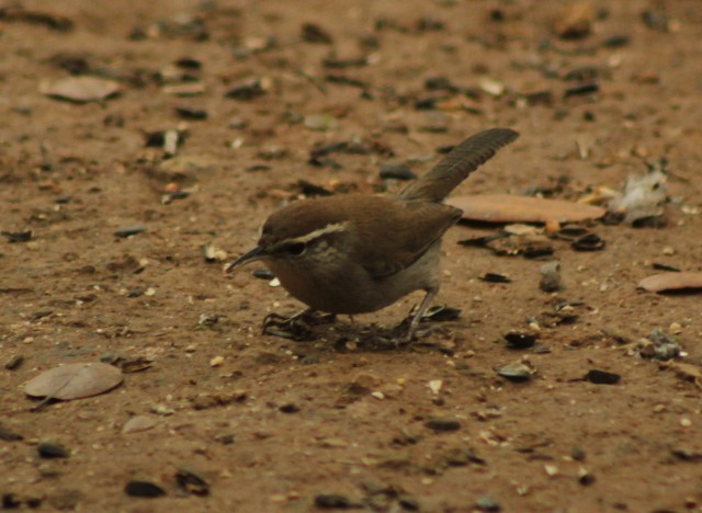 Brewicks Wren! This is one of our wintering birds, but so far I havent managed to get a proper picture of one of them