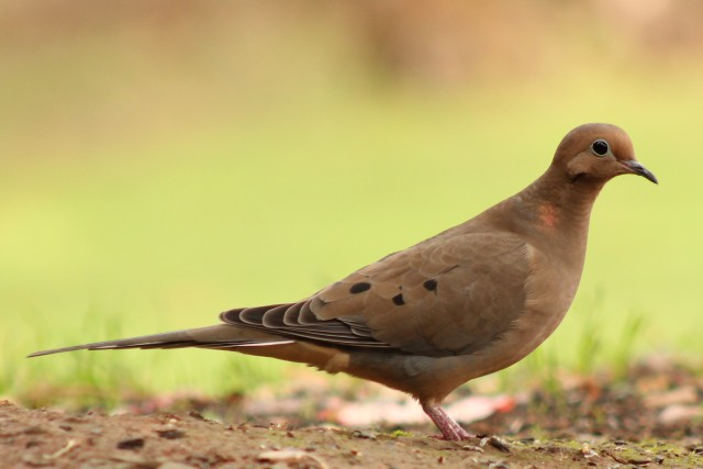Mourning Dove. These birds are usually very skittish but for once they actually decided to come up close today!