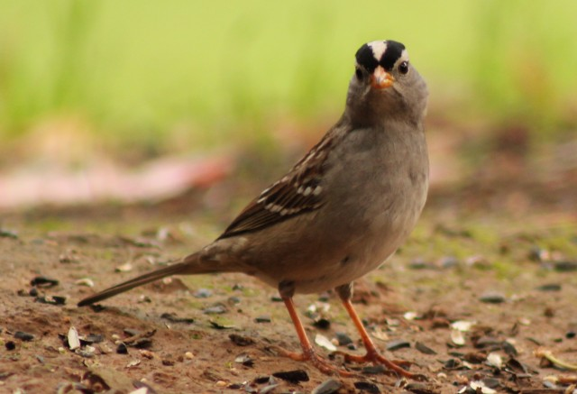 White-crowned_Sparrow[1]