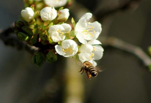 bee-tree-blossom-white-bumblebee