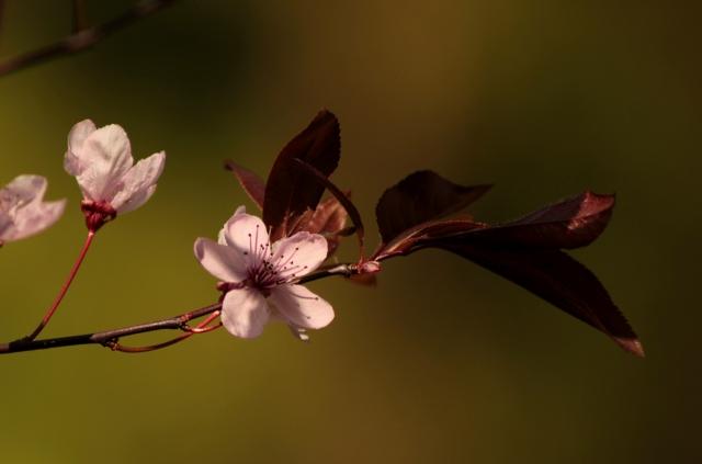 cherry-blossom-spring-pink