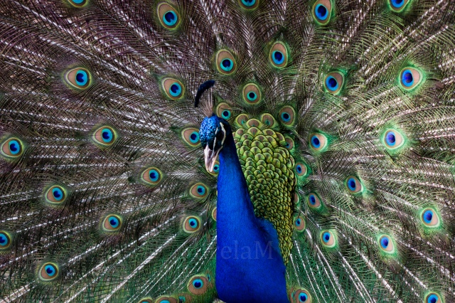 The peacock with its magnificent feathers!