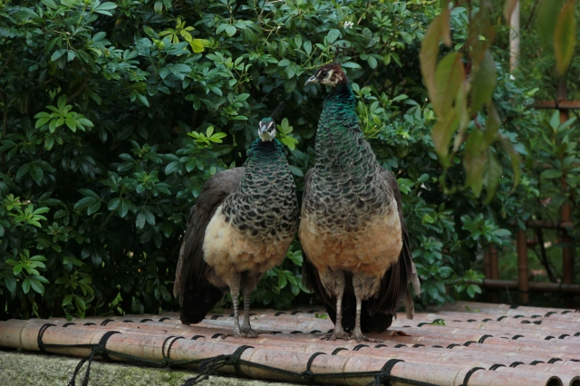 The Peahens may not be as magnificent but I think they are still pretty!