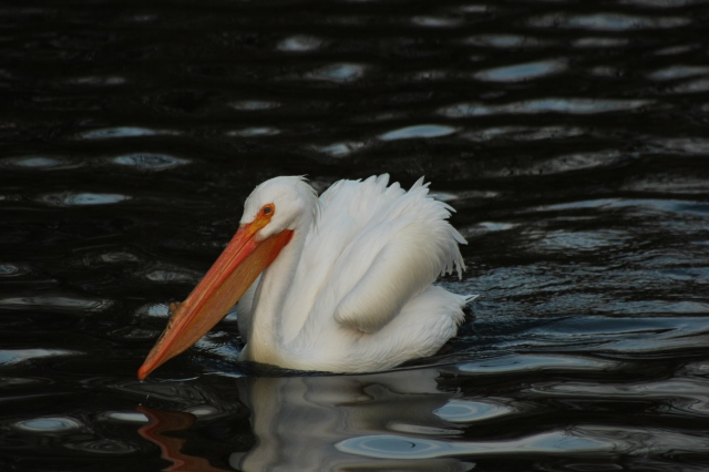 american-white-pelican-st-james-park-london
