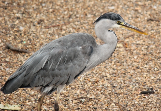 blue-heron-st-james-park-london