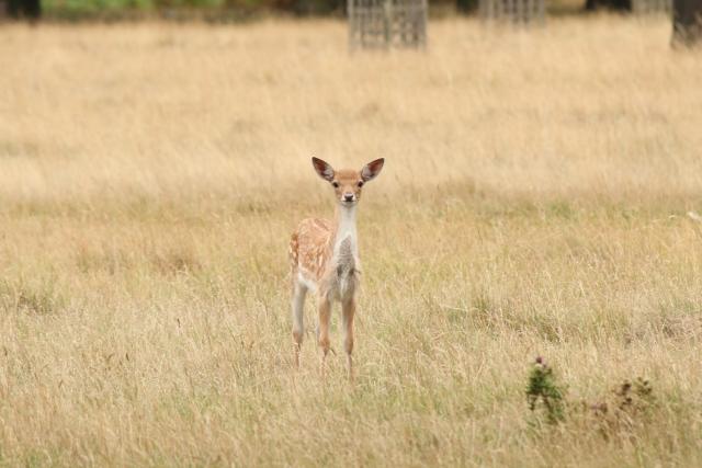 fallow-deer-fawn