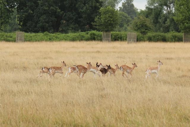 fallow-deer-fawns