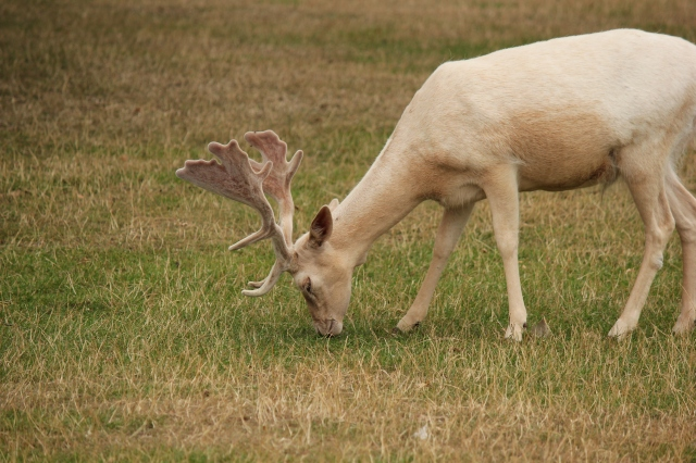 With no natural predators, the leucistic deer have a better chance of survival here.