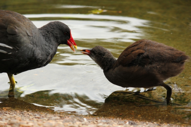 moorhen-st-james-park-london