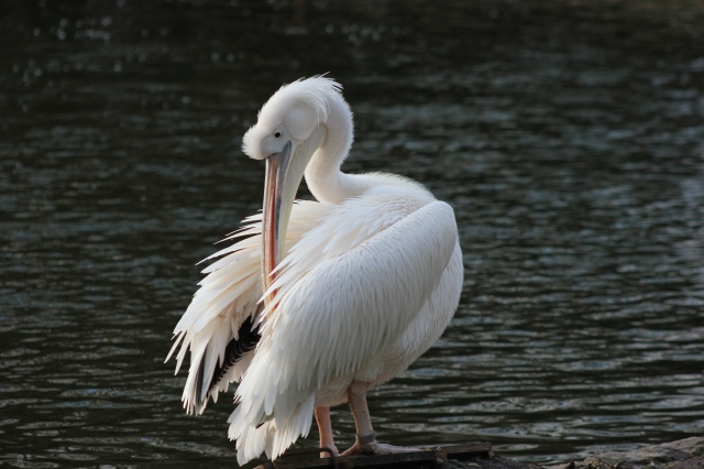 pelican-st-james-park-london