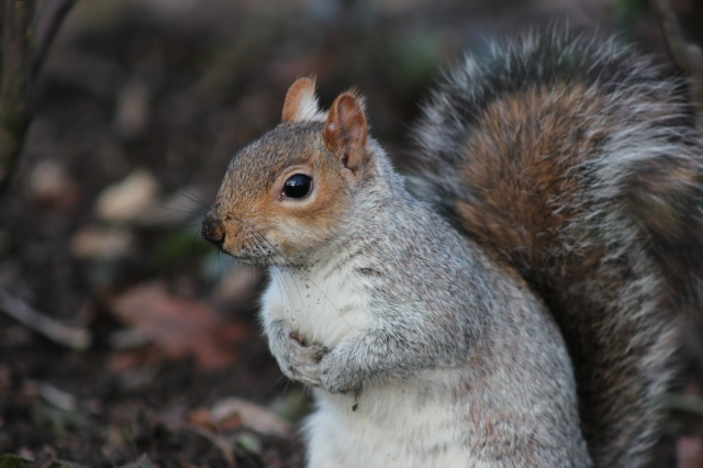 squirrel-st-james-park-london