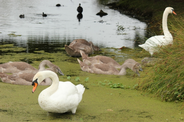 swan-family-bushy-park