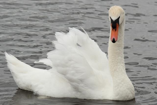 swan-london