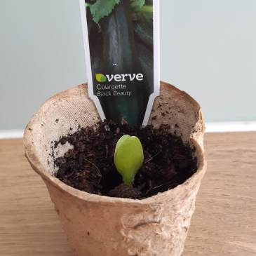 courgette seedling